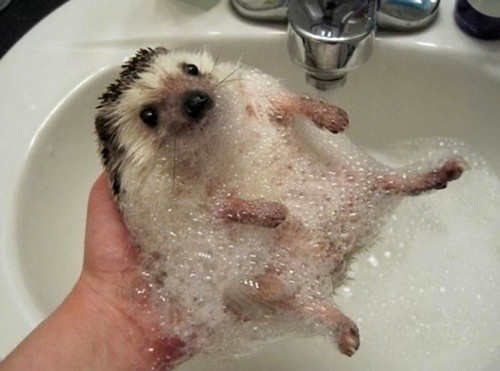 hedgehog bubblebath