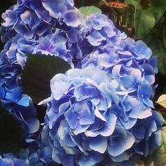 #hydrangeas #flowers #biltmore