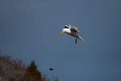 Hungry seagull 4