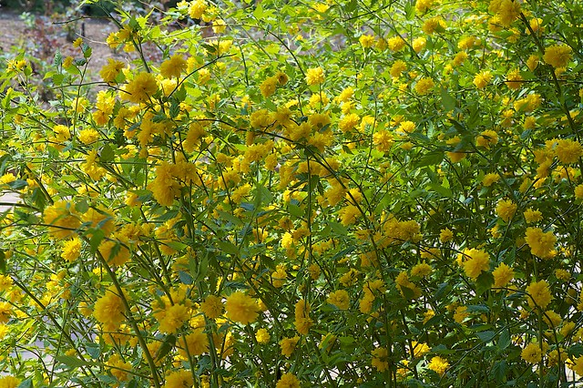Kerria japonica definition meaning for Kerria japonica