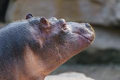 Profile of a young hippopotamus