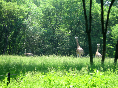 Two giraffes and an ostrich by Coyoty