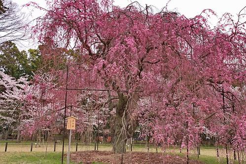 【写真】桜 : 上賀茂神社