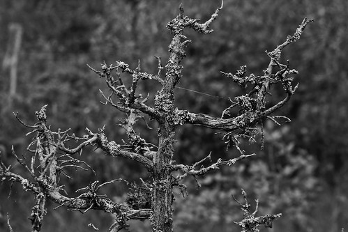Has Been Juniper in Black and White