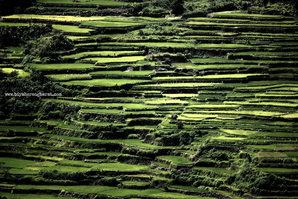 Bontoc Mountain Province rice terraces