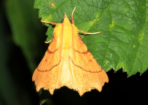 1913 Canary-shouldered Thorn 21574