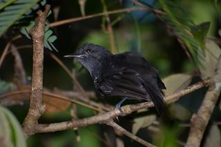 Chororó-negro (Cercomacroides nigrescens ochrogyna) - Macho