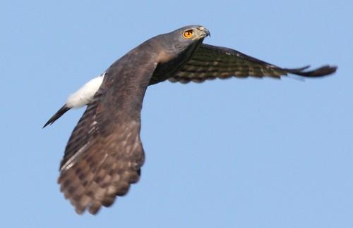 抖翅展示飛行(圖片攝影:曾建偉)