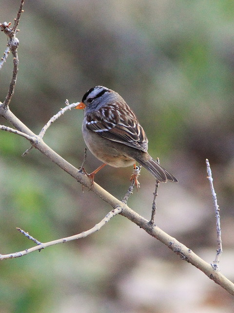 White-crowned Sparrow 20131105