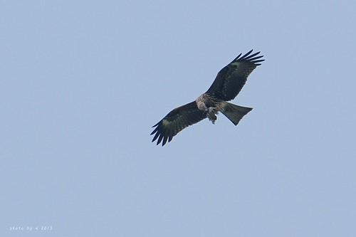 空中的老鷹,腳裡抓著獵物。圖片來源:屏科大野保所鳥類研究室
