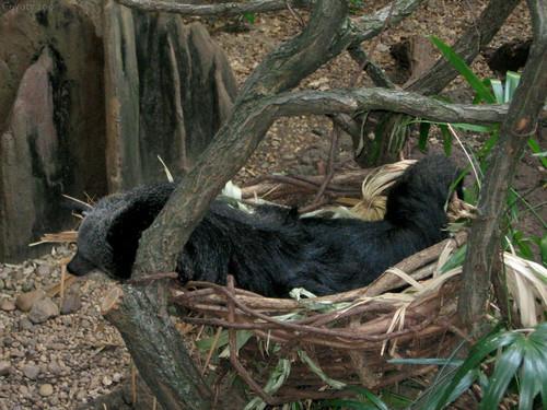 Sleepy binturong (bearcat) by Coyoty
