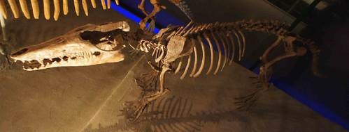 巴基鯨(Pakicetus attocki)骨骼復原標本模型。作者攝於日本東京上野科學博物館。