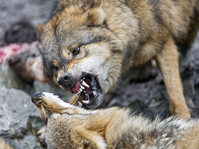 Wolves fighting over food