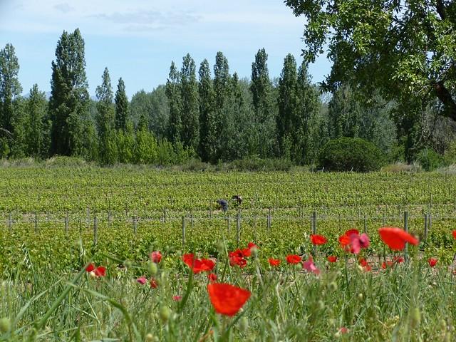 wine-yard