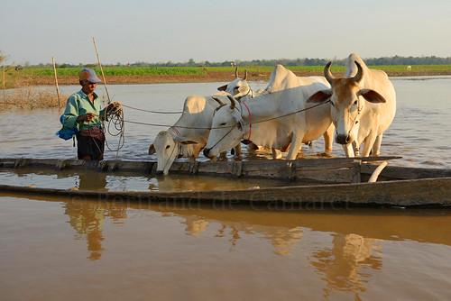 sunset man water animal horizontal river cow boat asia cambodge cambodia eau riviere ngc reflet asie paysage bouvier mekong homme vache coucherdesoleil barque nationalgeographic d800 taureau kampongcham bovin bertranddecamaret