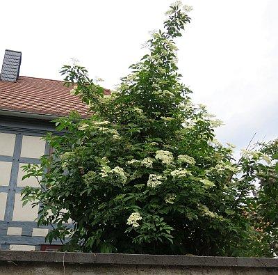 Blühender Holunder in Rüsselsheim