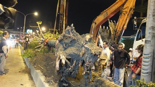 行道樹將移植到北部流行音樂中心