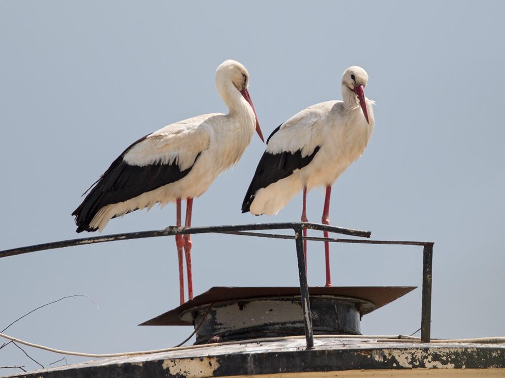 White Stork 2014-05-03