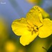 Rapeseed - Photo (c) Marcello Consolo, some rights reserved (CC BY-NC-SA)