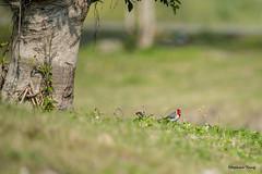 09紅冠臘嘴雀