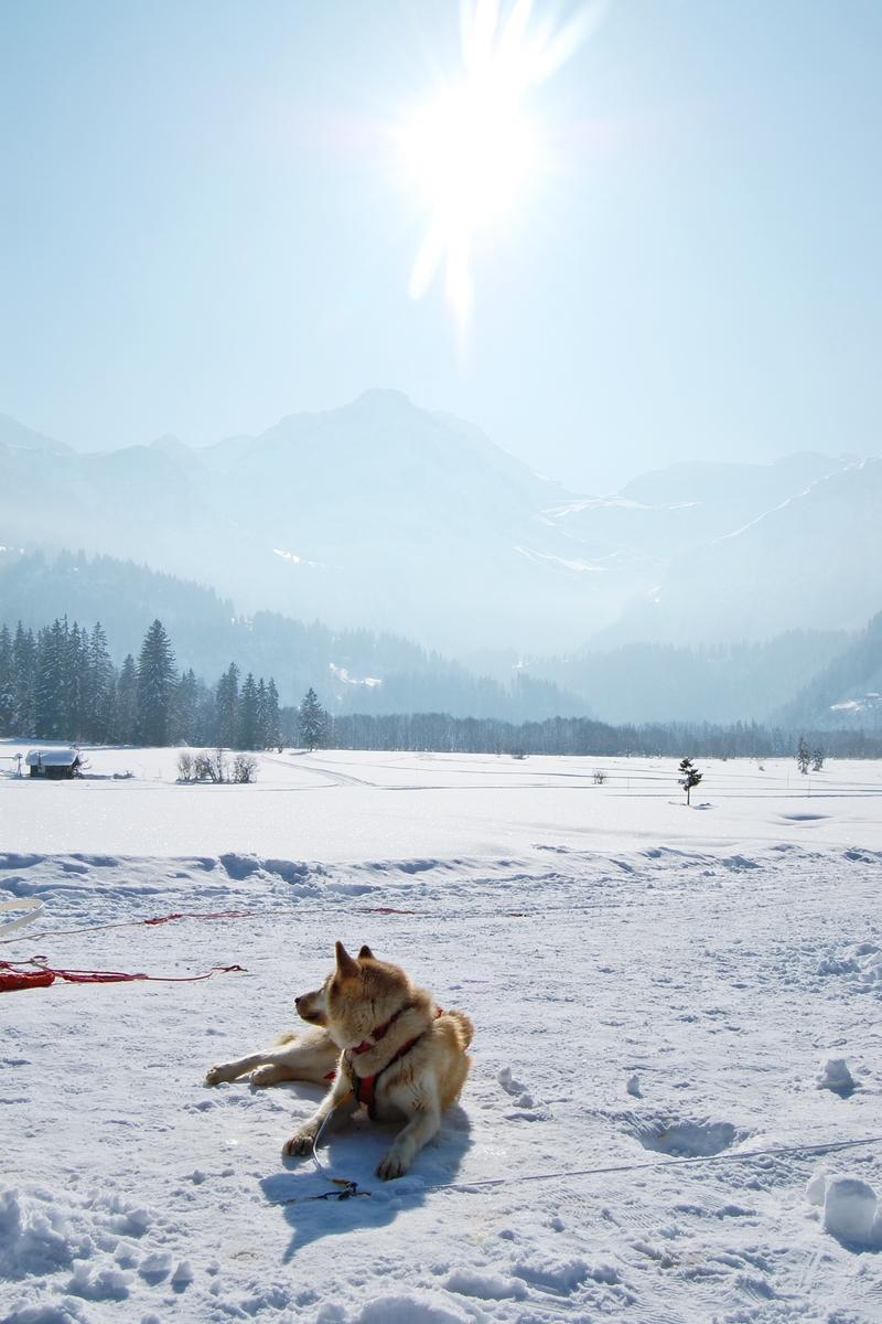 Balade chiens de traineau chiens de traineau (12)