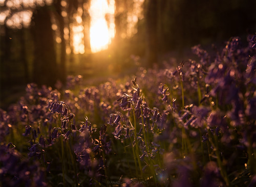 Bluebells at Sunset