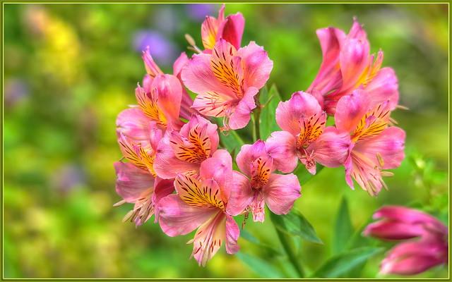 Pink-a-licious Alstroemeria