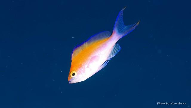 フタイロハナゴイ幼魚♪