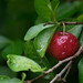 West Indian Cherry