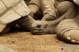 Schlafende Riesenschildkröte
