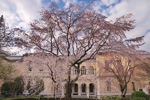 【写真】桜 : 京都府庁旧本館