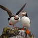 Puffins on Isle of May. by richard.mcmanus.