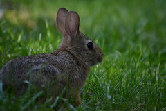 animal, grass, rabbit, domestic rabbit, fauna, wood rabbit, meadow, whiskers, rabits and hares, wildlife,
