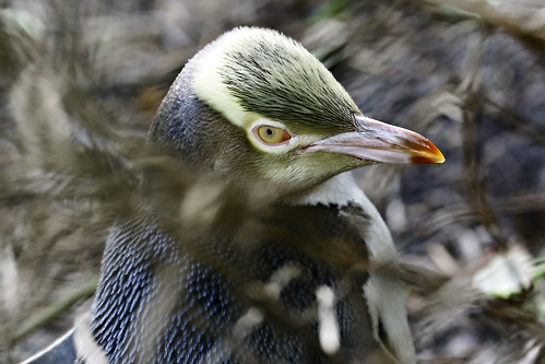 Yellow Eyed Penguin by Born Amin
