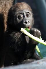 Ein aufregender Morgen bei Gorillababy Nafi