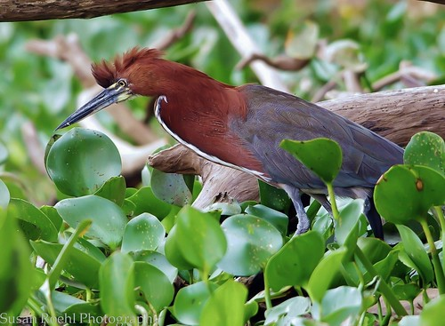 Rufescent Tiger Heron In Water Lilies in Brazil (Explored) by masaiwarrior