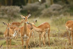 animal, antelope, mammal, herd, fauna, white-tailed deer, impala, savanna, grassland, gazelle, wildlife,