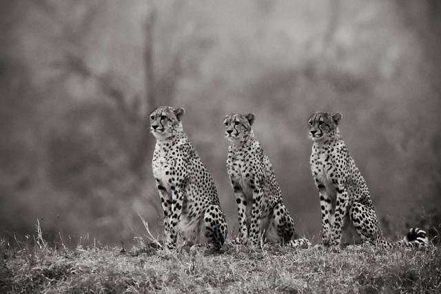 Cheetah BW