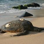 Sea turtle sleeping, Oahu