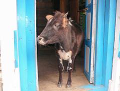 Świeta Krowa