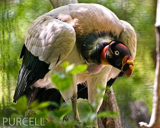 King Vulture, Reid Park Zoo