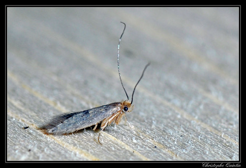 Tinenidae/Tineinae