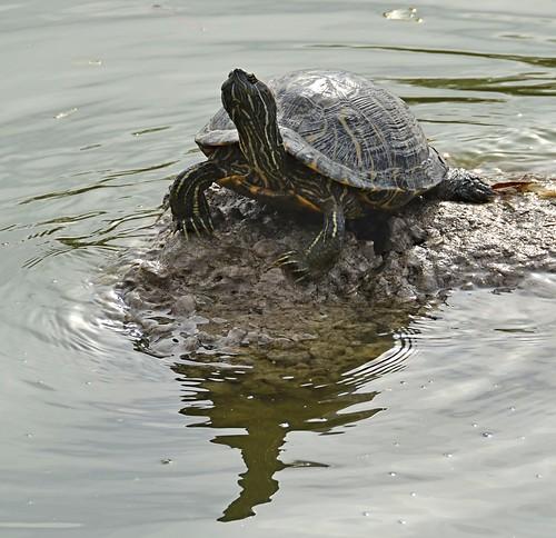 statepark texas turtle redearedslider trachemysscriptaelegans westlaco esterollanograndestatepark nikond7000 nikkor18to200mmvrlens