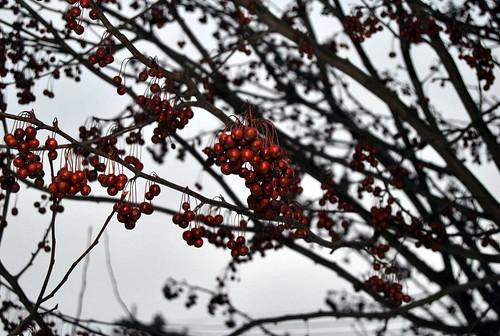 WPIR - berries-001