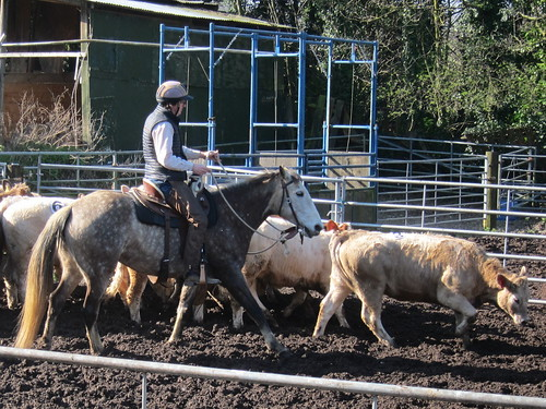 Grey mare and cows