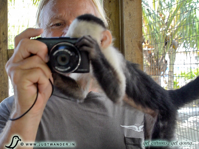 PIC: White Headed Capuchin Monkey in Roatan, Honduras -- monkey's looking into the camera