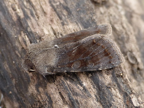 Clouded Drab Orthosia incerta Tophill Low NR, East Yorkshire March 2014