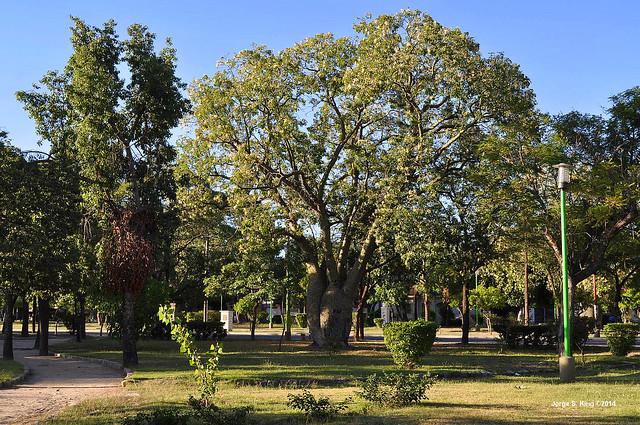 Palos borrachos (Chorisia speciosa St.) de la Plaza Andrés Figueroa