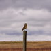 Meadowlark song by Photographer in Alberta