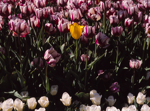 Yellow Tulip in Washington Park, Albany, N.Y. - The Arrival